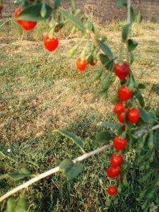 gojiberry fruit