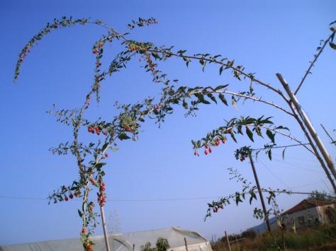lycium goji berry