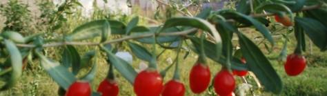 goji berry lycium barbarum