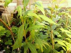 φυτά goji