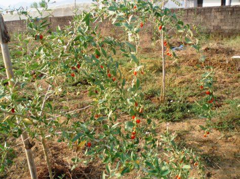 δέντρο goji berry