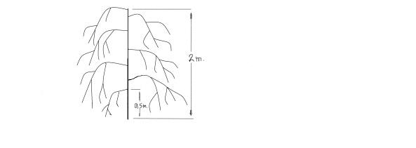 κυλινδρικό goji με καθοδικά κλαδιά και ύψος  2 με 2,5 μέτρα