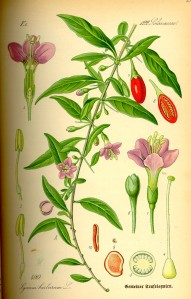 Illustration_Lycium_barbarum0