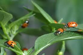 Ωφέλιμα έντομα